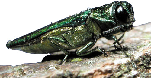 Emerald ash borer. Photo credit: U.S. Department of Agriculture.