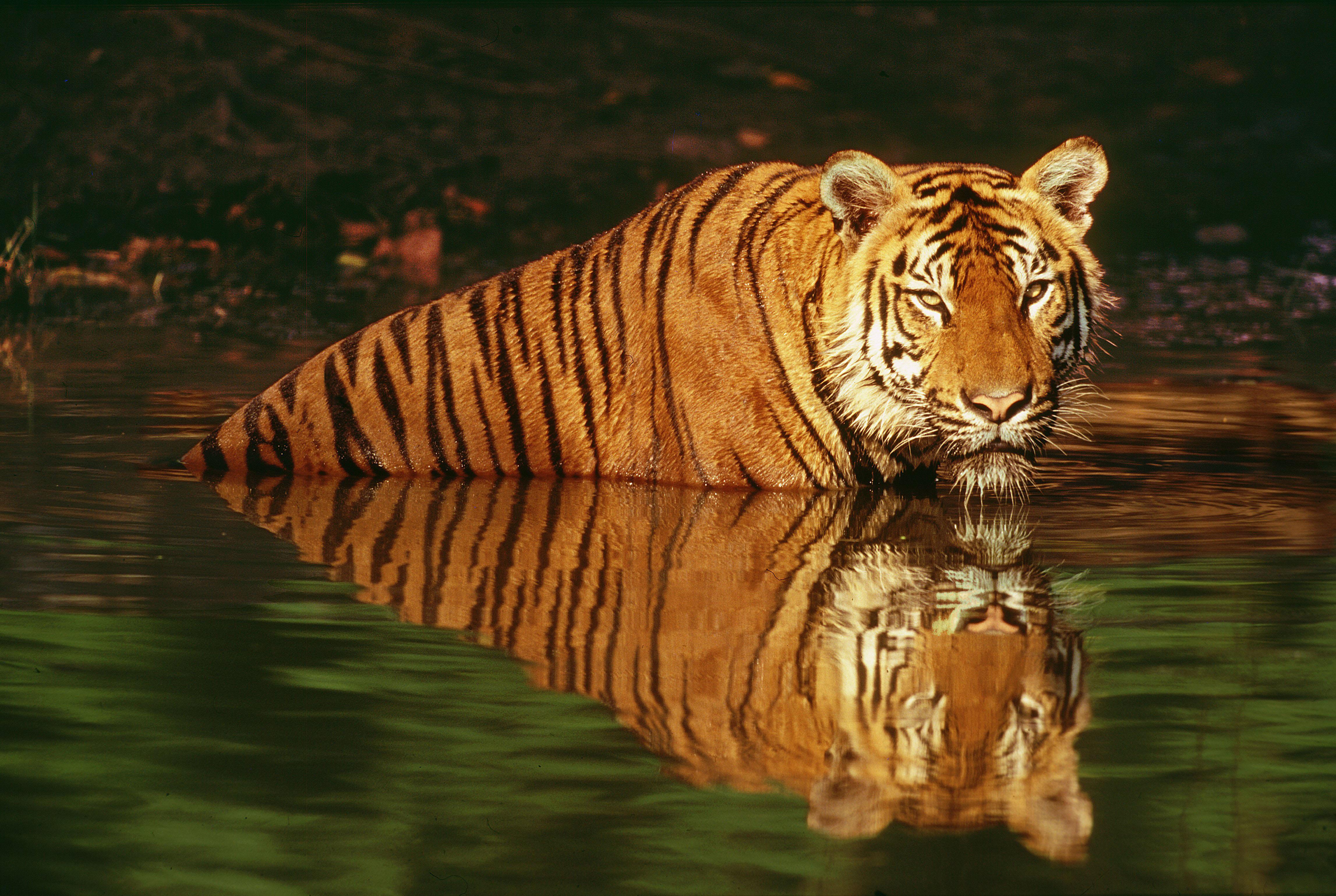 Indian tiger (Panthera tigris tigris); Thailand