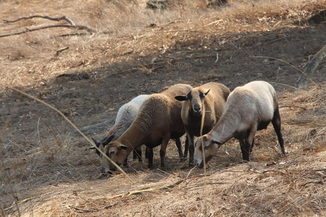 Sonoma County Wildlife Rescue fire evacuated sheep 1 CREDIT In Defense of Animals_preview