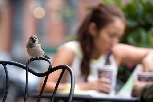 urban sparrow at cafe