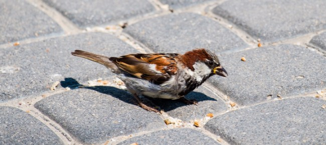 sparrow on cobblestones