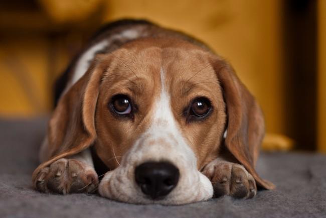 beagle with sad eyes
