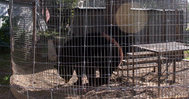 A bear in one of Cricket Hollow's enclosures.  Photo credit: ALDF