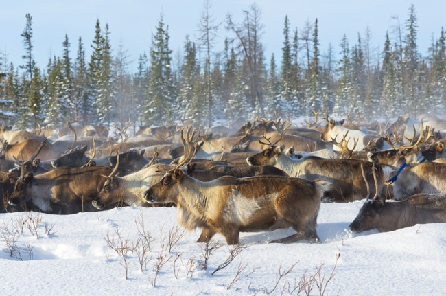 Reindeer herd during winter migration.  Photo credit: Thinkstock