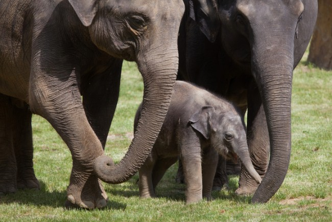 elephant calf with two adults