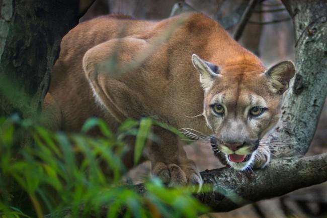 eastern puma cat