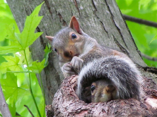 squirrels raise orphaned pups