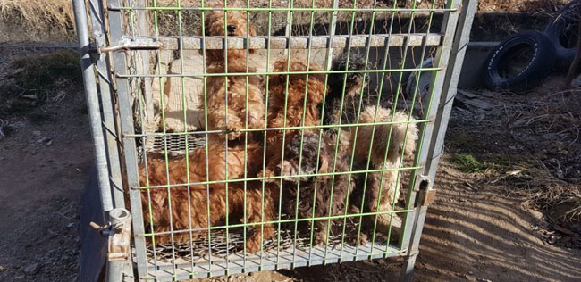 1-24-18 Poodles crammed in cage 6 CREDIT In Defense of Animals-Jindo Love_preview