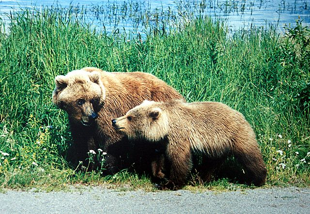 640px-A_mother_and_a_cub_bears