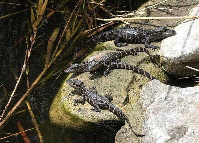 640px-Alligator_mississippiensis_babies