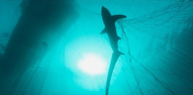 shark in gill net