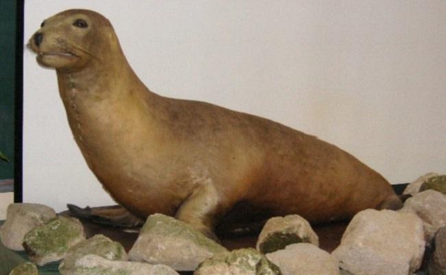 Japanese sea lion