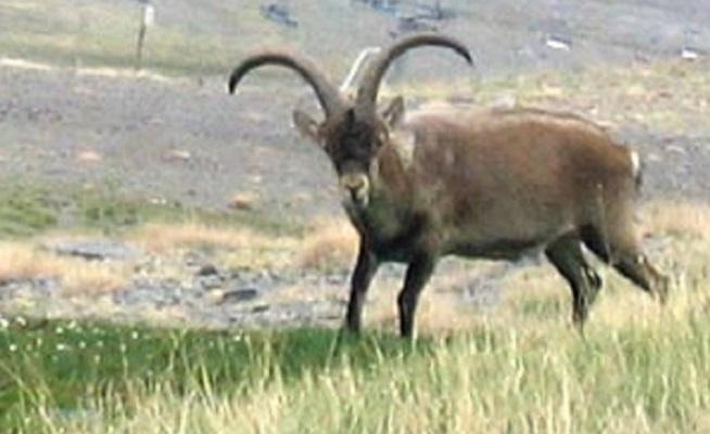 Pyrenian ibex