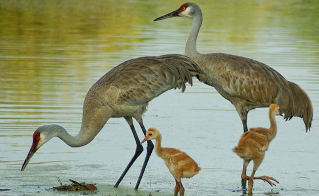 sandhill-cranes