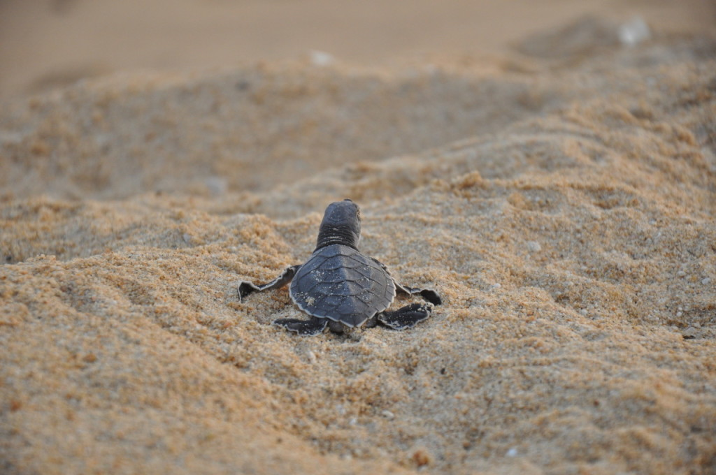 How Sea Turtles in One Community Made a Remarkable Recovery, After Nearly Disappearing