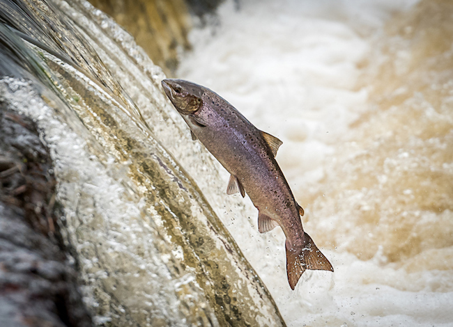 Hen Salmon Leaping Weir to Spawn