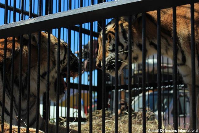 Tiger_rescue_11