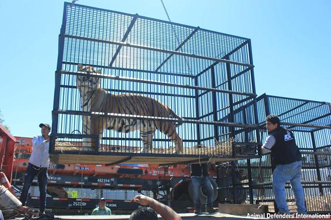 Tiger_rescue_4_ADI_loading_ani