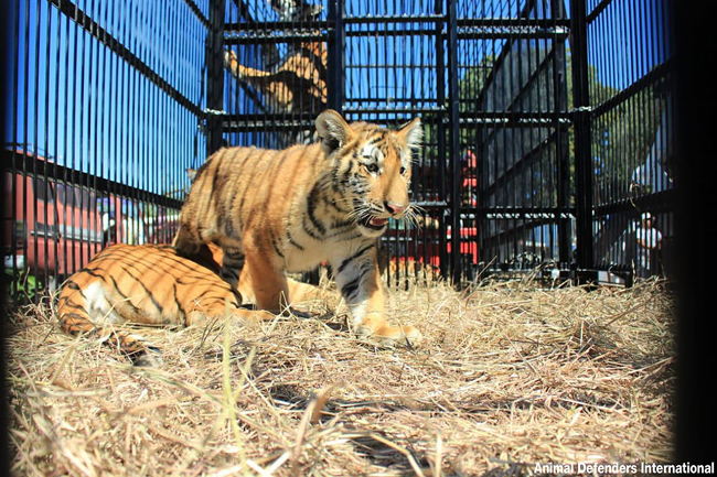 Tiger_rescue_5_ADI_loading_ani