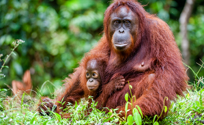 orangutans-at-home
