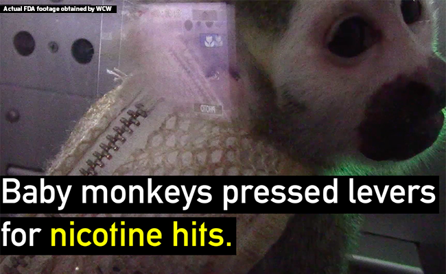 Baby monkeys pressed levers for nicotine hits.