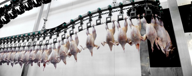 slaughtered chickens