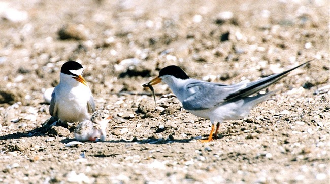 California least tern pair feeding a chick