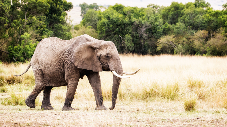 African elephant walking in Kenya