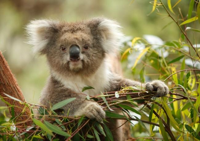 koala in natural habitat