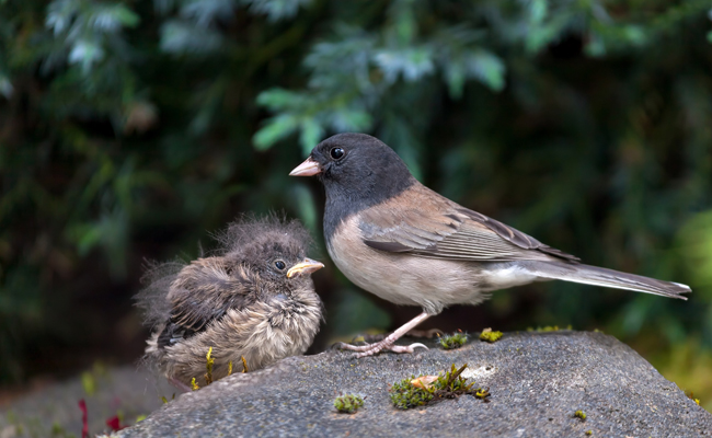 Junco-parent-and-baby