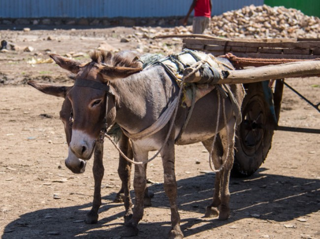 donkeys pulling a cart