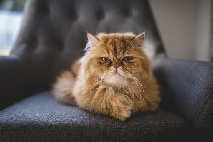 persian cat breed in an armchair