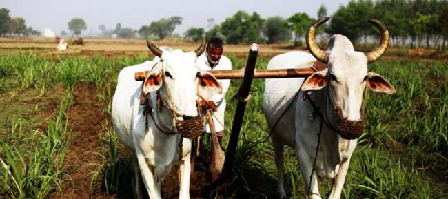 farmer using a plow with oxen