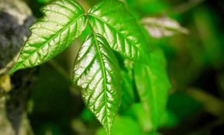 Vinegar for Poison Ivy