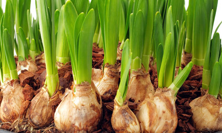 Life-Affirming Flowering Bulbs � How To