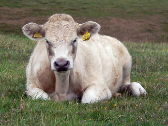 Bovine Growth Hormone: Anything but Green