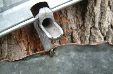 Maple Syrup 101: Tap Your Tree