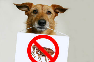 5 Solutions for Natural Flea Control