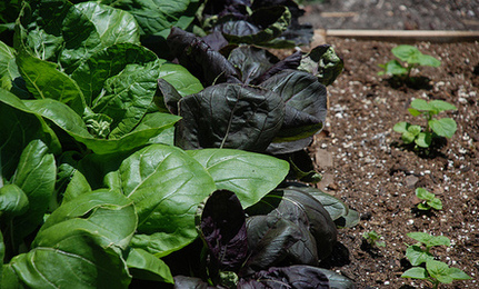Time to Plant Cool-Season Vegetables