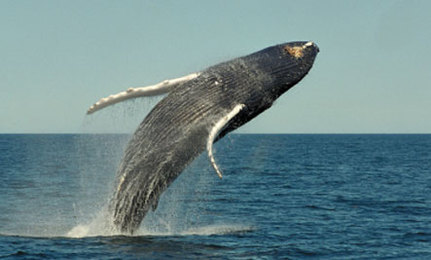 Humpback Whales: Don't Harm Their Habitat