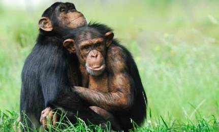 Do Primates Feel Compassion?