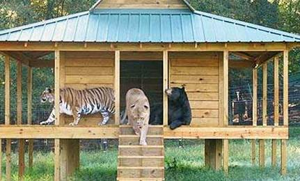 Lion, Tiger, and Bear Share Lifelong Bond