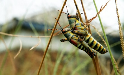 Super-Sexed Insects Coming Soon
