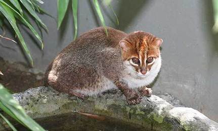 World�s Least Known Cat is Endangered