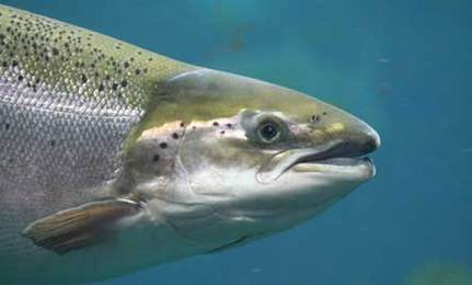 Salmon Stakes: Save a Fish, Save an Ecosystem