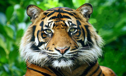 Killer of '100 Tigers' Caught