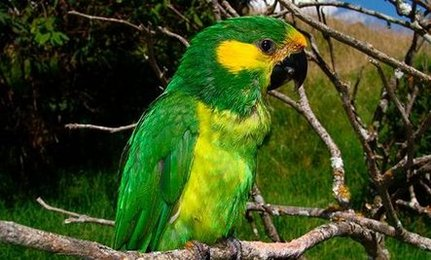 Green Parrot Species Parrot Species Believed