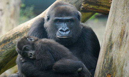 Baby Gorillas Named by Internet Users