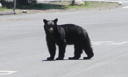Eleven Tahoe Bears Killed So Far This Year