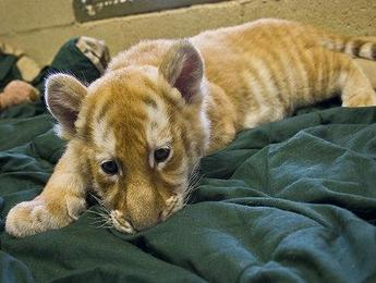 Tiger Cub Found in Luggage at Airport
